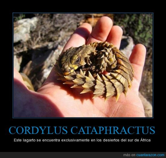 animal,cordylus cataphractus,dragon,escamas,lagarto