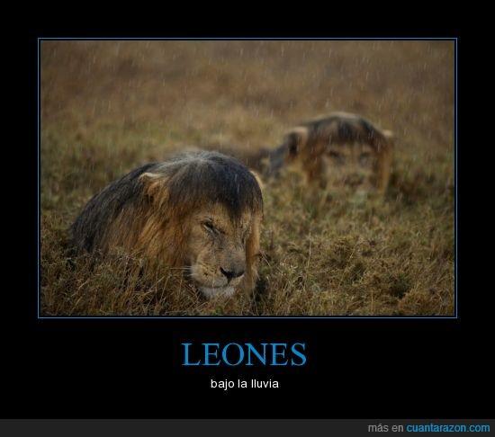 cabreado,félidos,felinos,leones,lluvia,mojado,sabana,selva