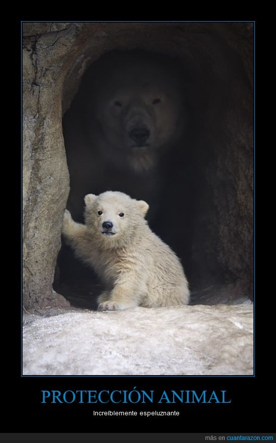 cachorro,cueva,madre,osezno,Osos,padre,polar,proteger