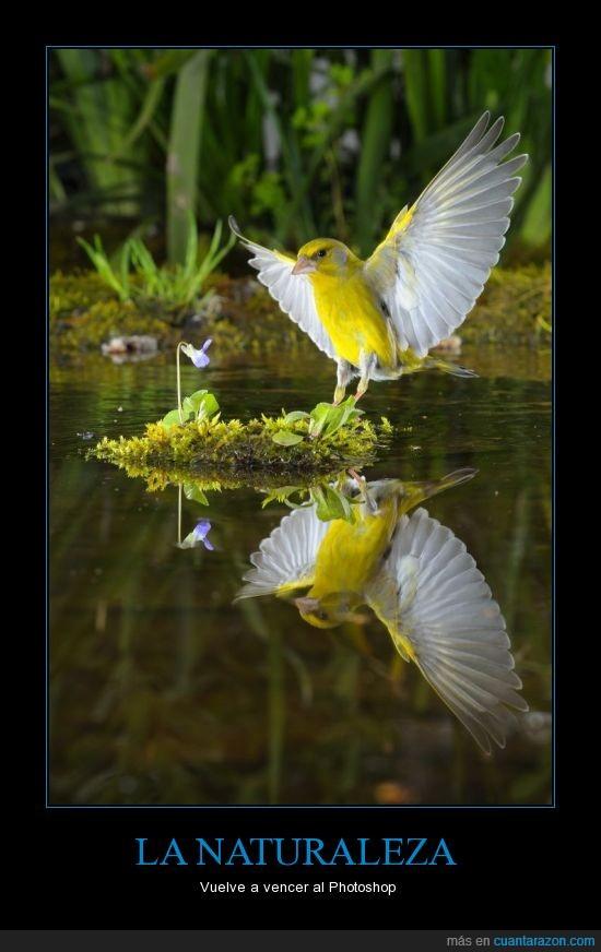canario,foto,instante,lago,naturaleza,photoshop,reflejo