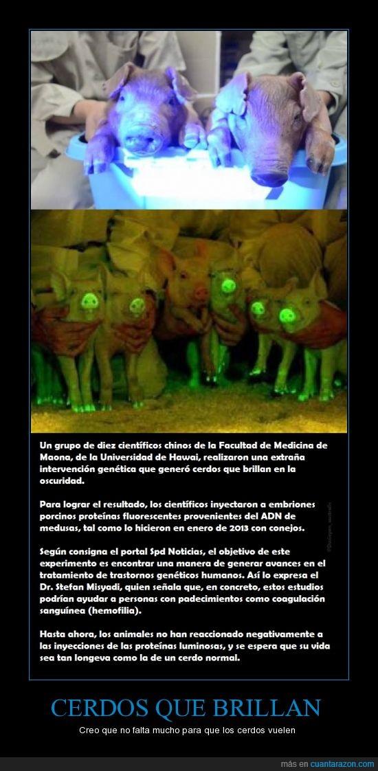 avances,ayudar,brillar,Cerdos,China,experimentar,hemofilia,medicamentos,sangre,volar
