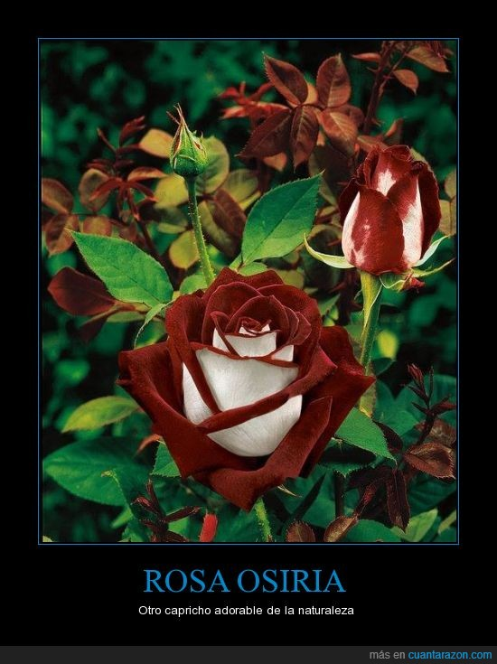 cultivo,foloer.rosa,planta,rareza,Rosa Osiria