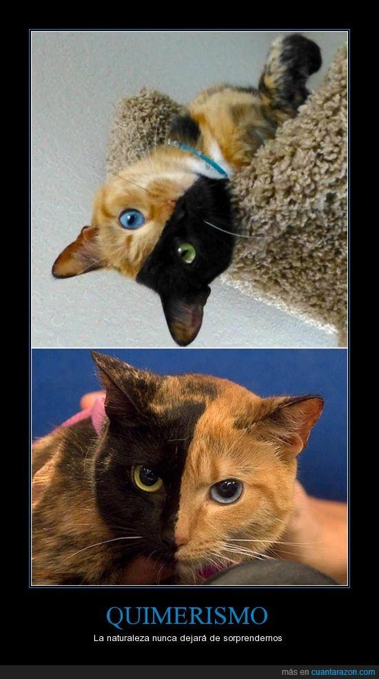 gato,iban a ser dos gatos y el cigoto según entiendo se fusiona,la gata se llama venus,naturaleza,quimerismo