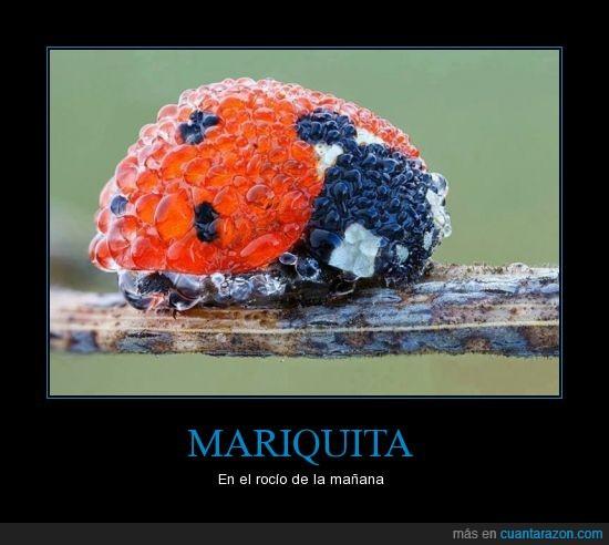 catarina,colores,insecto,maravilla,mariquita,natiraleza,rocío,zoom