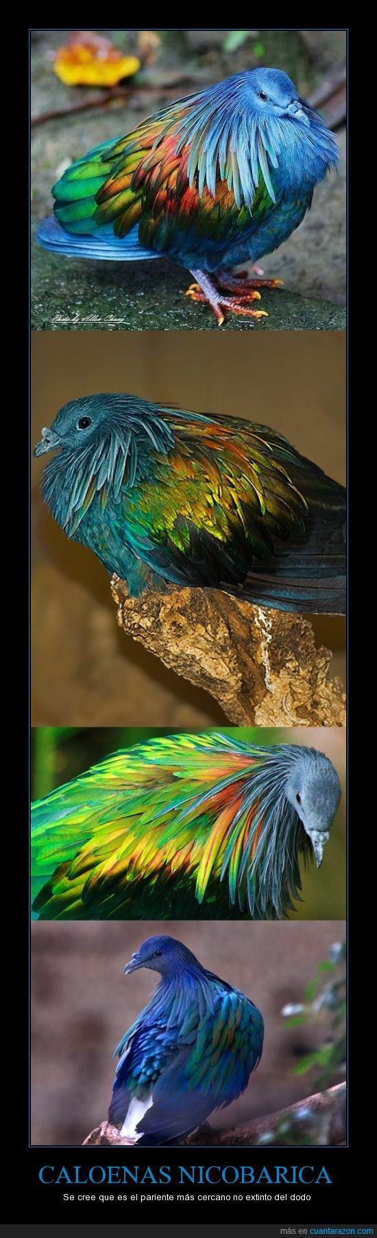 Caloenas nicobarica,dodo,el Bar de Nico,nunca me publican nada :(,paloma de nicobar,pariente,Raphus cucullatus