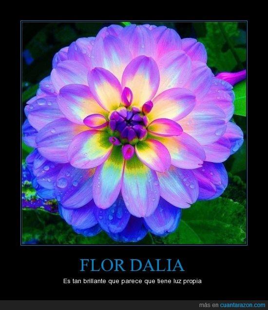 brillante,color,dalia,flor,luz,naturaleza