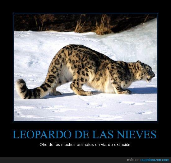 extincion,largo,leopardo,nieves,pelo
