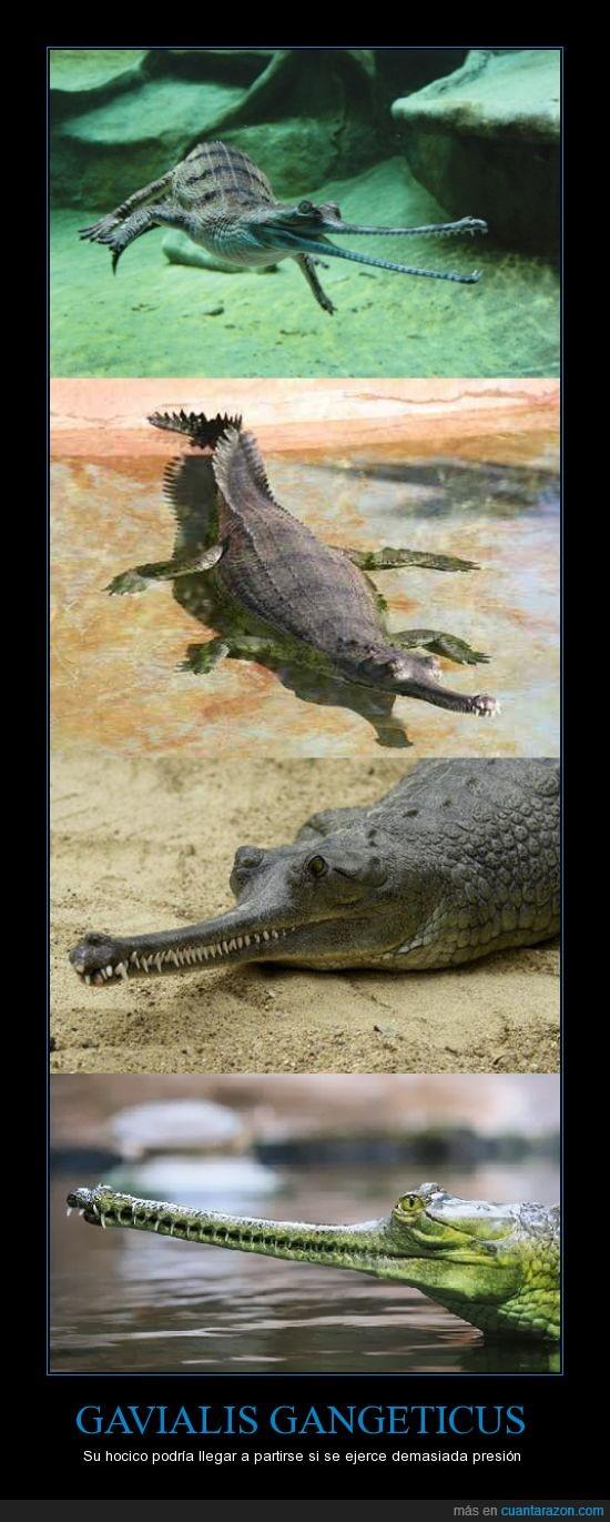 cocodrilo,Gavialis gangeticus,presión,sólo come peces