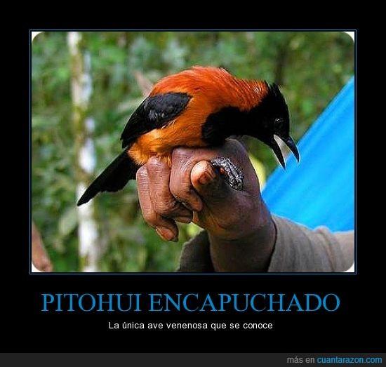 ave,conoce,PITOHUI ENCAPUCHADO,veneno,venenosa
