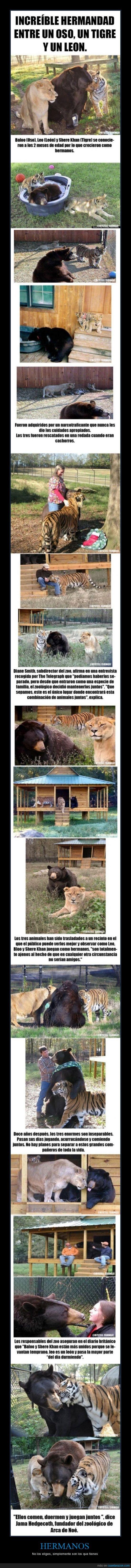 Amigos.,Hermano,Juntos,Leon,Oso,Tigre
