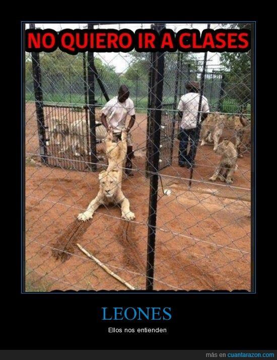arañar,clase,colegio,entrar,leon,leona,patas,suelo