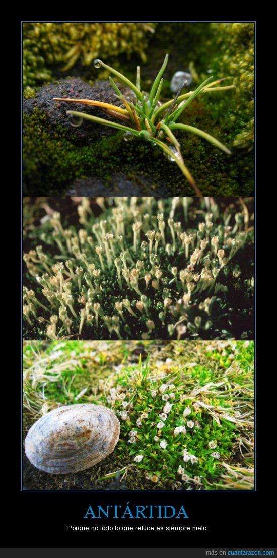 Antártida,claveles,flores,hierba,hongos,musgo,Polo Sur