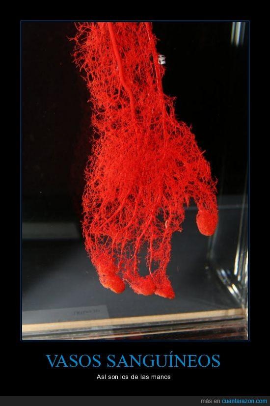 capilar,circulatorio,mano,sangre,sanguineo,sistema,vaso,vena