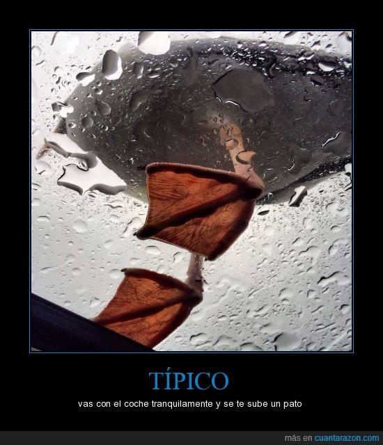 agua,coche,limpiaparabrisas,lluvia,pato,Típico