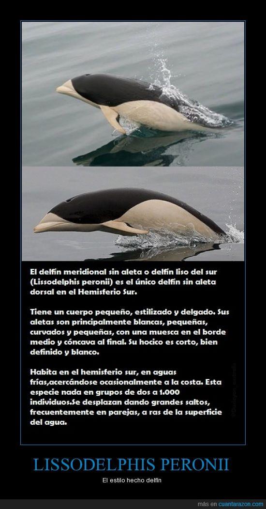 delfín liso del sur,El delfín meridional sin aleta,estilo,hemisferio sur,Lissodelphis peronii