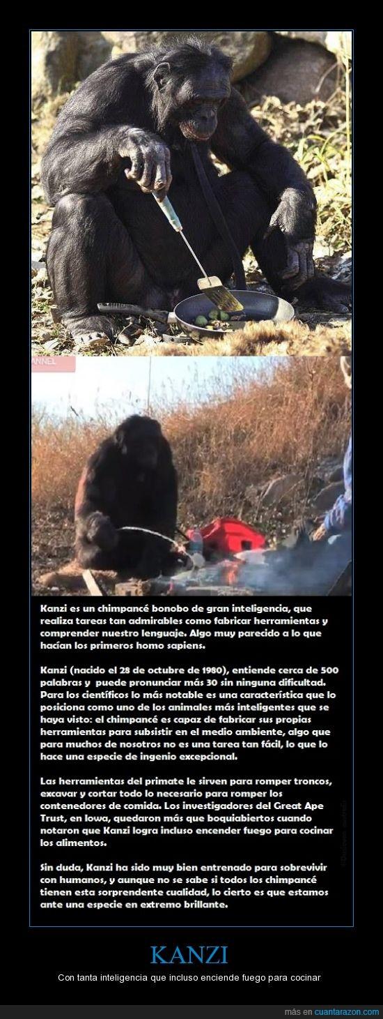actualidad,bonbo,chimpance,cocinar,inteligencia,Kanzi