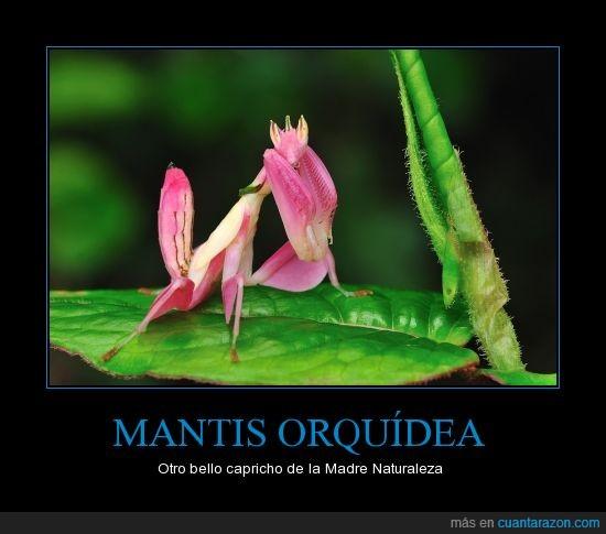 http://es.wikipedia.org/wiki/Hymenopus_coronatus,insecto,mantis,mantis ellas si saben sacar su lado femenino,orquidea,raro