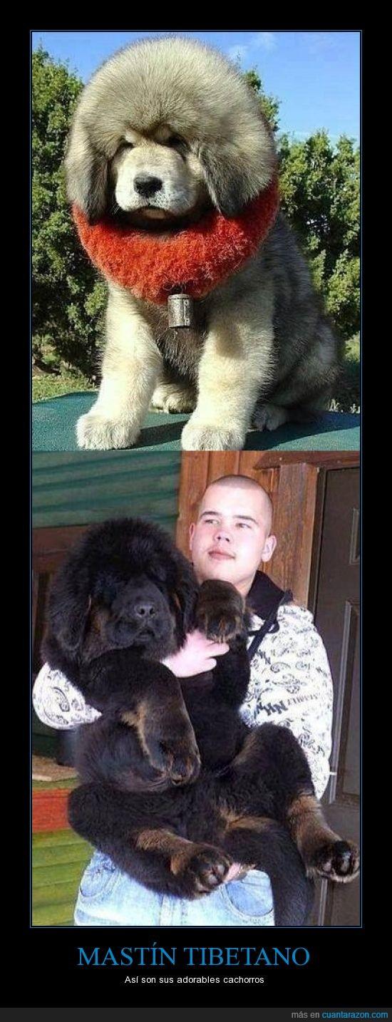 cachorros,Matín tibetano,perro
