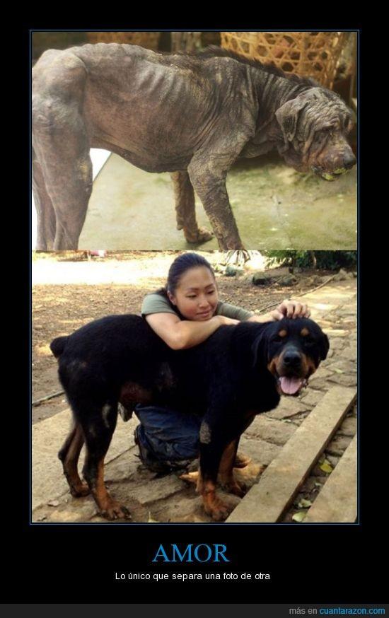 amor,corea,maltrato,perro,protección,rottweiler