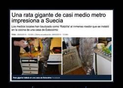 Enlace a Rata gigante de medio metro en Suecia