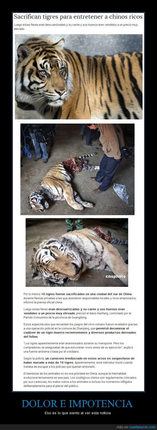 chinos malditos,crueldad,estupidez humana,tigre