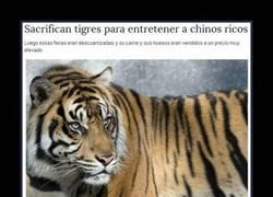 Enlace a Chinos sacrifican tigres por diversión