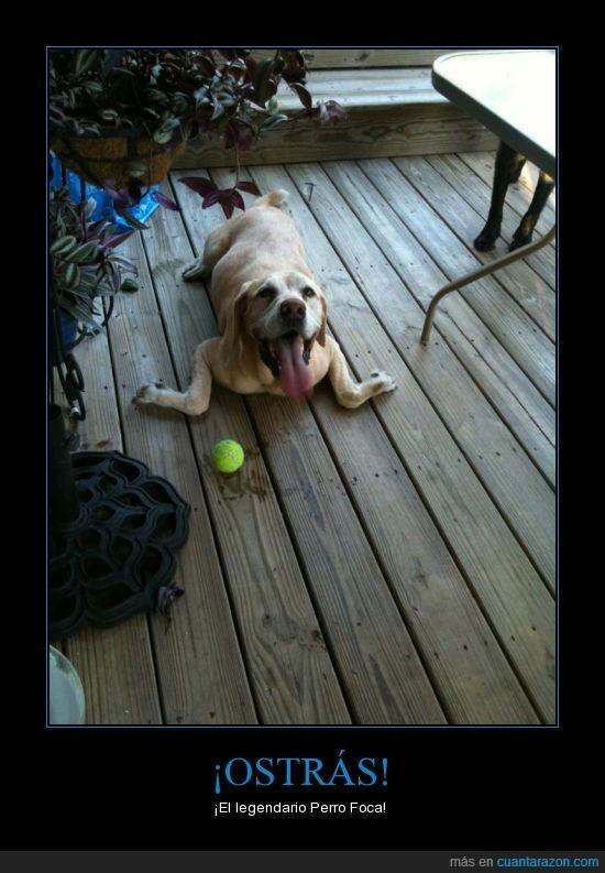 can,foca,mascota,pelota,perro,pose