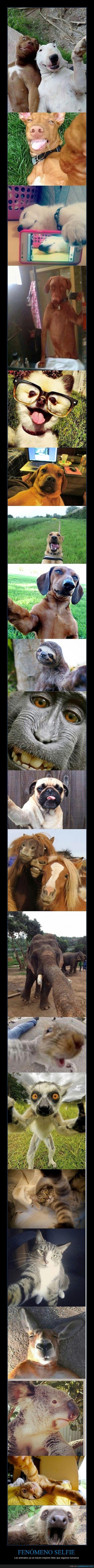 algunos tienen una pinta de drogados...,animales,ardilla,caballo,canguro,elefante,gato,humano,koala,mono,perro,perro cerdo,Selfie