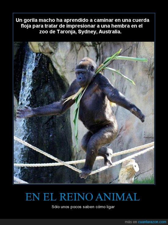 animal,aprender,cuerda,familia de Barney Stinson,floja,gorila,ligar,ligón,mono