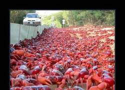 Enlace a Será por cangrejos rojos...