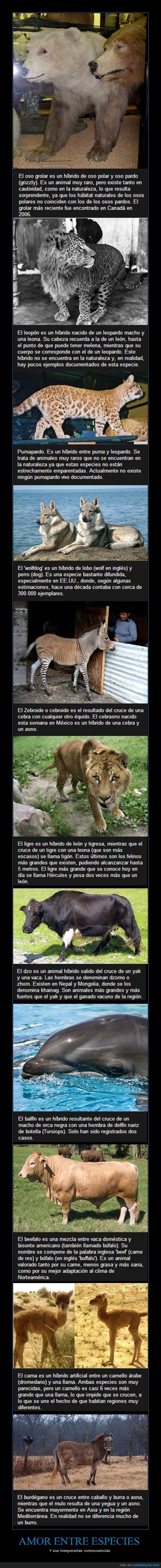 animales,burro,dzo,híbrido,león,mezcla,mutantes,oso,pumapardo,tigre