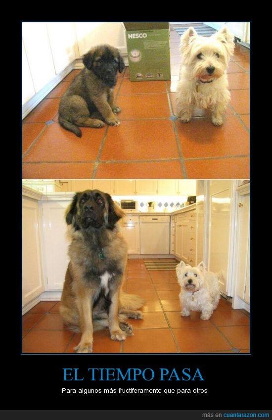 cachorro,crecer,grande,pequeño,perrete guapo,perro