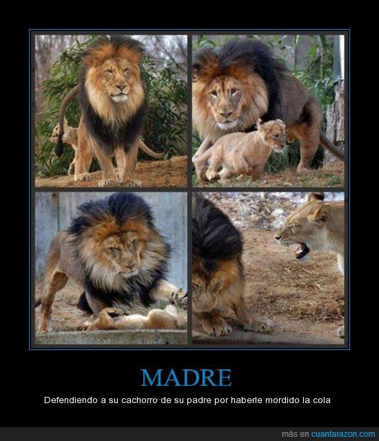 Cachorro,Cola,leon,leona,Madre,morder,Padre,Regaño