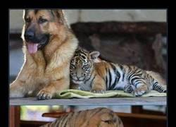 Enlace a Tigres y pastores alemanes pueden ser amigos