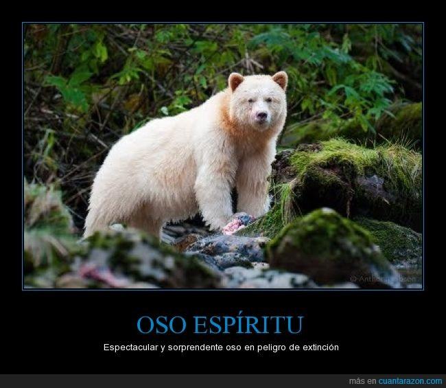 400 ejemplares,blanco,insolito,oso,peligro de extinción,vive en Canadá