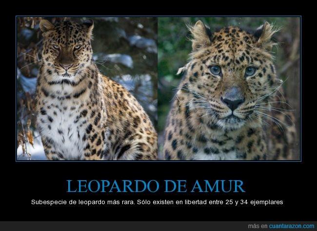 amur,leopardo,leopardo ruso,no es de África como casi todos piensan,óblast de amur,ojazos,rezo para que no se extinga