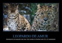 Enlace a LEOPARDO DE AMUR