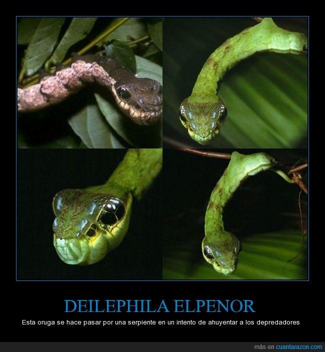 Área de Conservación Guanacaste,Costa Rica,Daniel Janzen,DEILEPHILA ELPENOR,oruga serpiente,Universidad de Pennsylvania