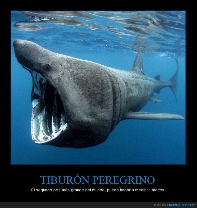11 metros,boca grande,grande,segundo,tiburon,vive en el mediterráneo