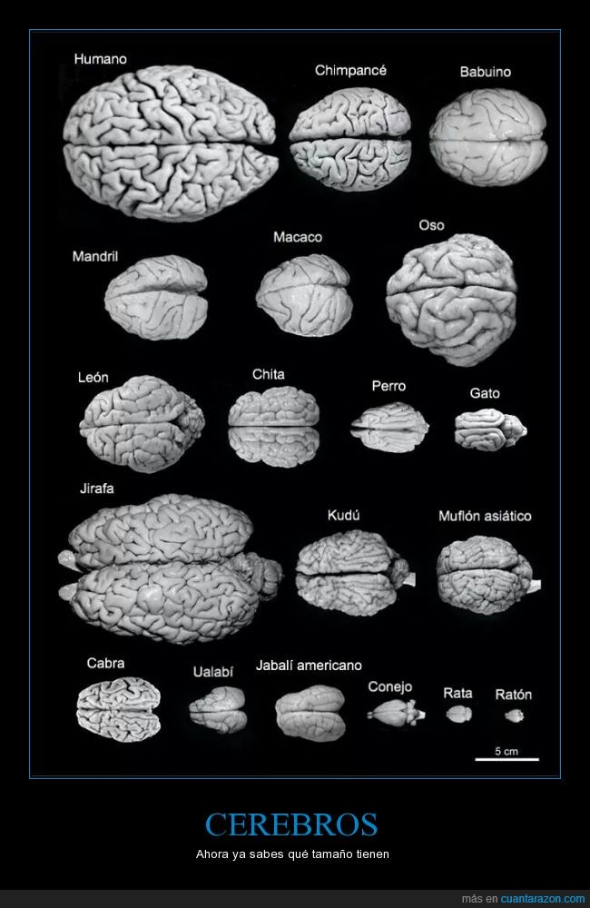 cabra,cerebro,humano,jirafa,ratón
