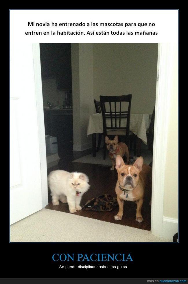 adiestrar,enseñar,entrar,entrenar,esperando,esperar,gato,habitacion,perro,puerta