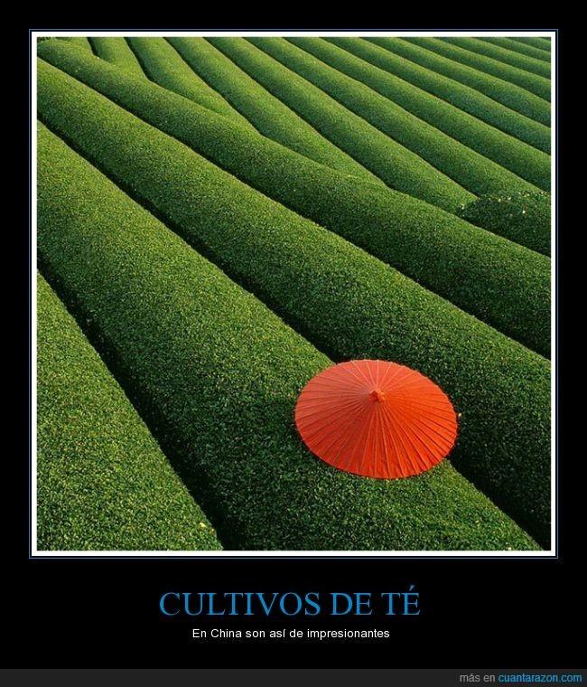 china,color,cultivo,hoja,paraguas,paz,plantacion,rojo,sombrilla,te,verde