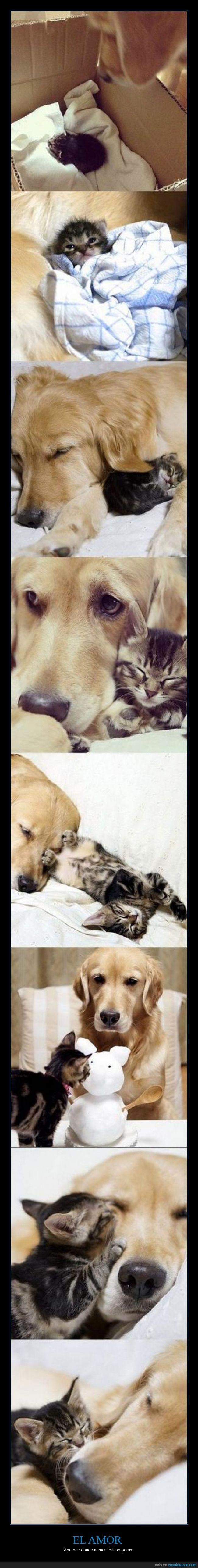 adoptar,amor,cachorro,gatito,gato,golden retriever,hijo,madre,perro