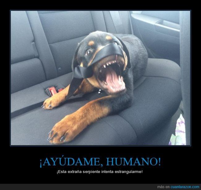 cachorro,cinturon,enredado,liar,lio,mono,perrito,rotweiler,seguridad