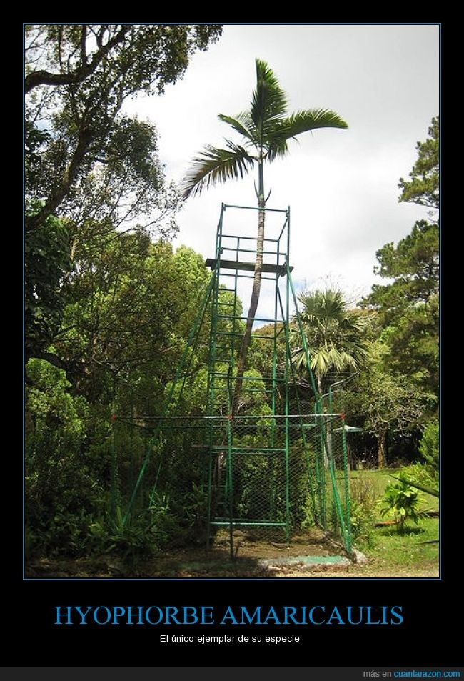 Hyophorbe amaricaulis,isla de Mauricio,palmera,peligro crítico,planta,Sólo queda una,única