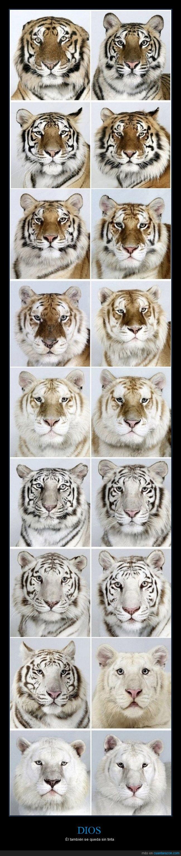 bengala,blanco,chistaco,chiste,color,impresora,naranja,negro,perder,tigres