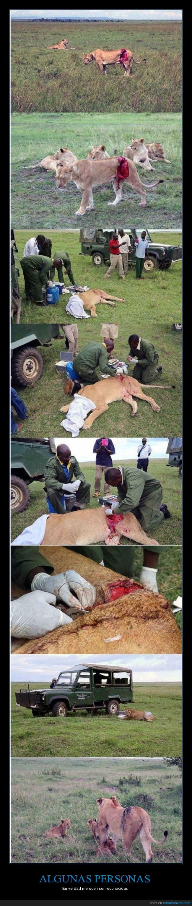 animales,ayudar,coser,curar,depredadores,grande,herida,leona,nobleza