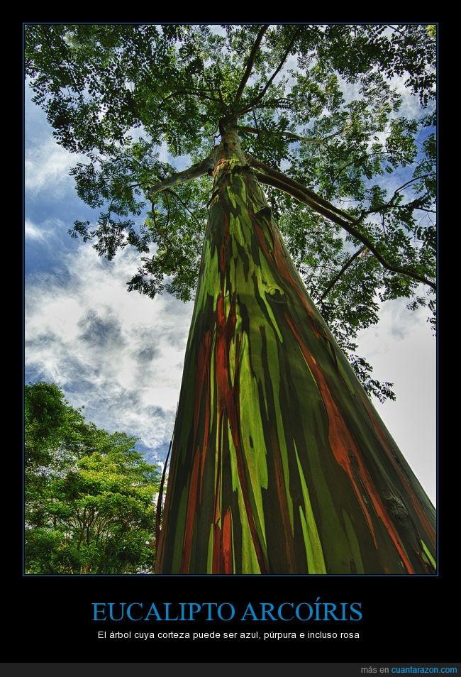 arbol,arcoiris,azul,color,colores,colorines,eucalipto,naturaleza,purpura,rosa