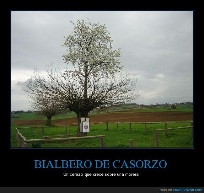 árbol,Bialbero,Casorzo,cerezo,Italia,morera