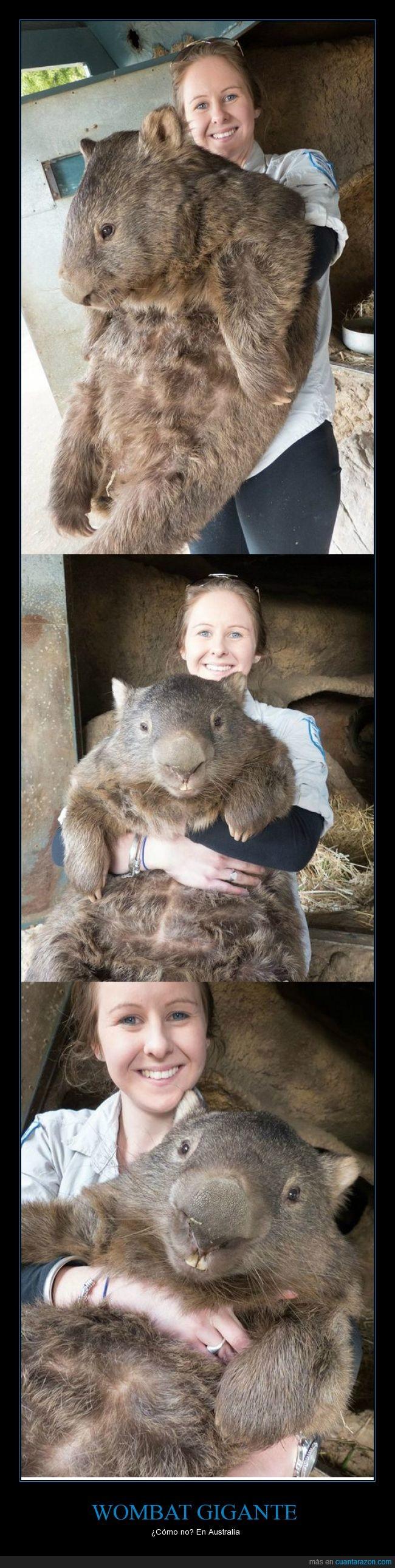 animal,australia,gigante,grande,wombat